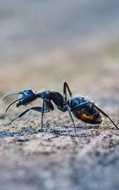 ants in the las vegas desert