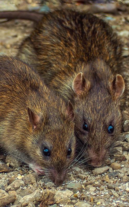 Rat Extermination in Las Vegas