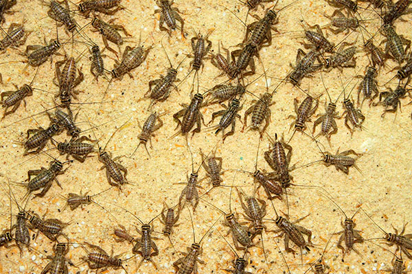 crickets on a sawdust background