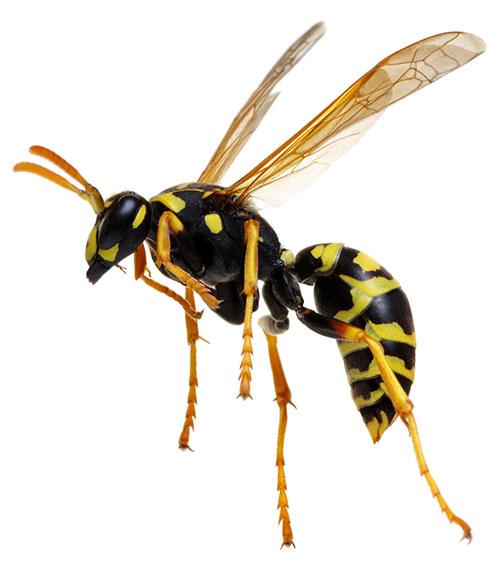 individual wasp/mud dauber